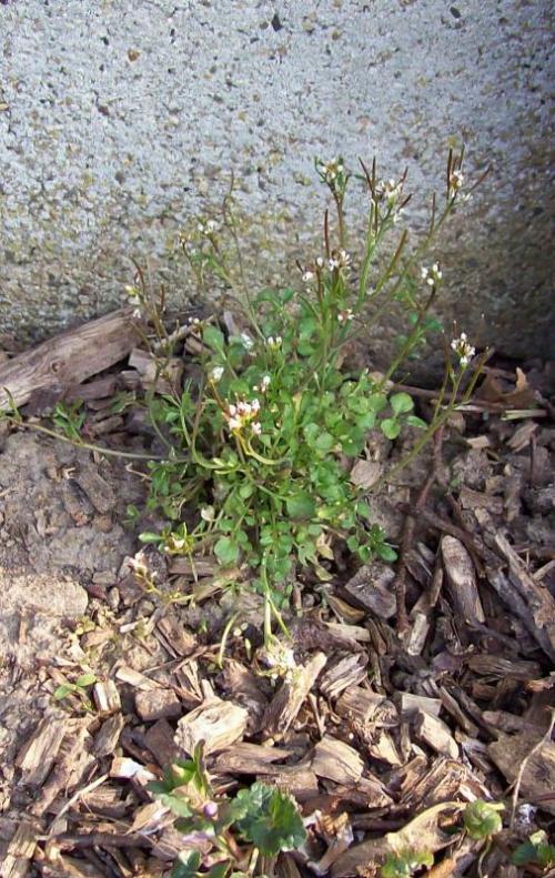 Kleine veldjers (Cardamine hirsuta) Foto Katti Deleener