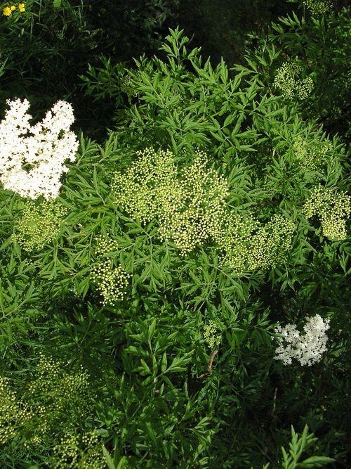 Peterselievlier (Sambucus nigra Laciniata)