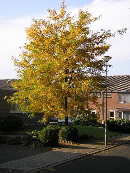 Valse Christusdoorn (Gleditsia triacanthos Sunburst)
