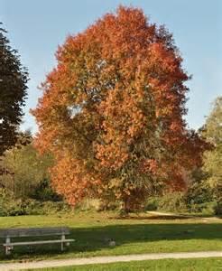 Moeraseik (Quercus palistrus)