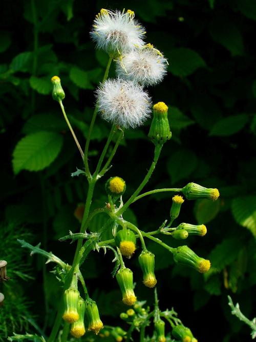 Klein kruiskruid (Senecio vulgaris) foto H. Zell