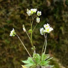 Vroegeling ((Erophila verna)