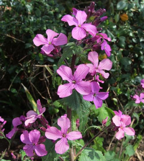 Judaspenning  Tuin -  (Lunaria annua) Foto site Venema zaden