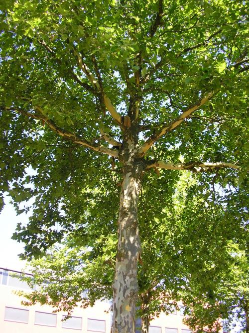 Gewone plataan (Platanus hispanica)