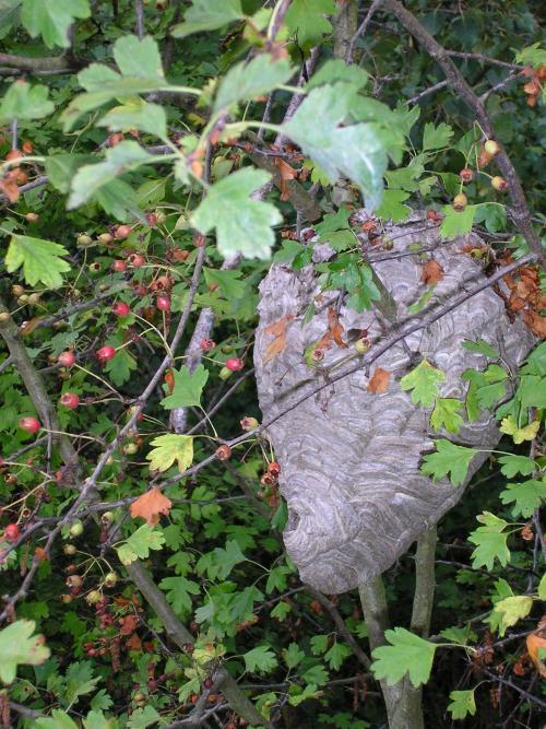 Nest van Middelste wesp - (3)