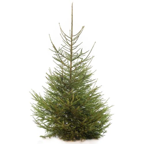 Fijnspar als kerstboom foto Google.com