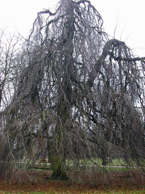Treurbeuk (Fagus sylvatica Pendula)
