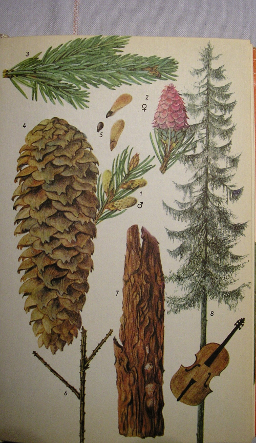 Fijnspar  (Picea abies) All in one
