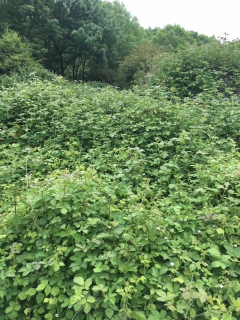 Braam (Rubus fruticosus)
