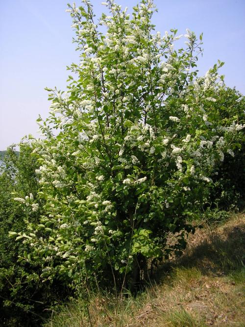 Vogelkers (inheemse) (Prunus padus)