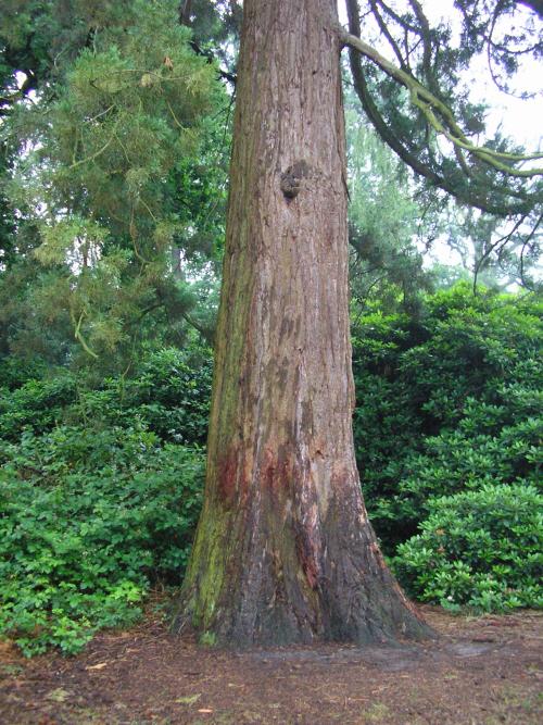 Mammoetboom Zegenwerp