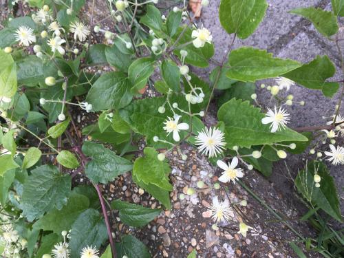 Bosrank - bloemen