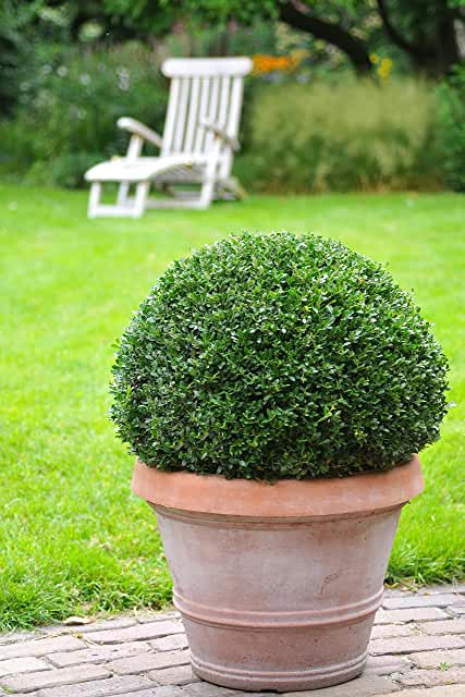 Japanse hulst (Ilex crenate 'Dark Green'