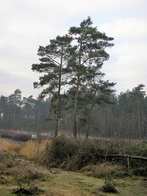 Vliegdennen (Pinus sylvestris)