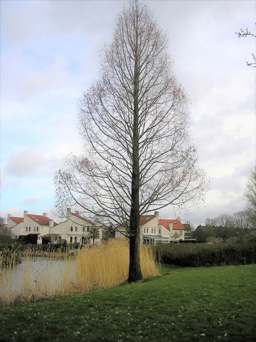 Watercipres (Metasequoia glyptostroboides)